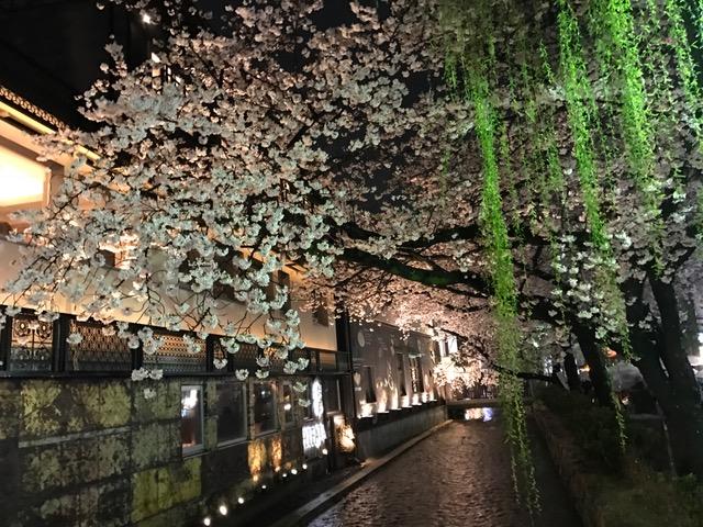 京都さくら.jpg